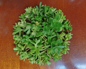 50 Sedum Kimnachii Succulent Cuttings