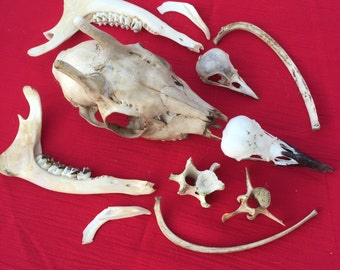 A small collection of English wild animal and bird bones and skulls