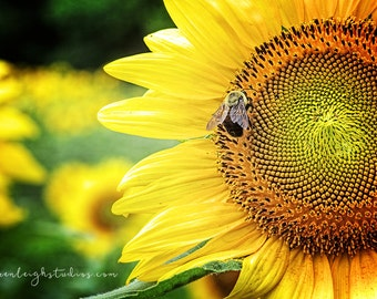 Sunflower Buzz Print