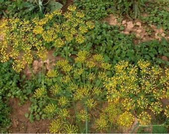 Dill- Herb-Bouquet-  200 seeds