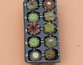 Pack Of 10 Sempervivum Succulent Plants 10 Varieties Hens & Chicks