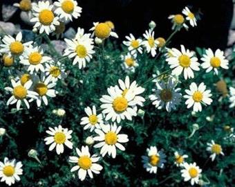 Chamomile Roman * Heirloom, Organic Perennial * Herb!! 1000 Seeds