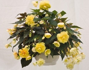 Hanging Begonia Peaches 'N Cream * Showy!! Seeds