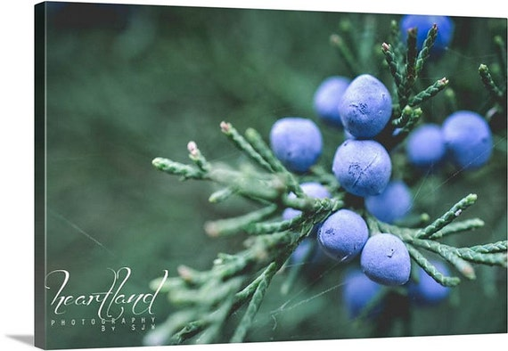 Extra Large Canvas, Blue and Green, Juniper Berry, Evergreen Tree, Oversized Wall Art, Big Photograph, Winter Decorations, Modern Christmas