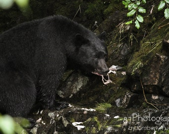 Black Bear - Alaska