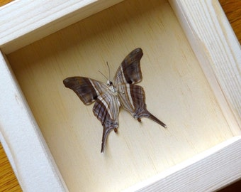 Real Marpesia Chiron Framed - Taxidermy - Children Education - Home Decoration