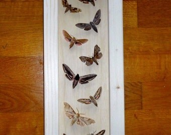 Real 10 Beautiful Sphinx Moths Framed - Taxidermy - Home Decoration - Collectibles