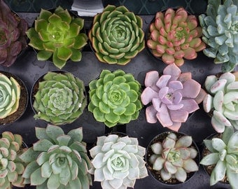 Succulent Plants. Assortment of 12 Gorgeous Succulents in pots. Wonderful grouping for weddings and shower favors.