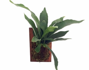 "Staghorn Fern Growing on Walnut Wooden Plaque - Exotic Houseplant - 9"" x 5.5"""