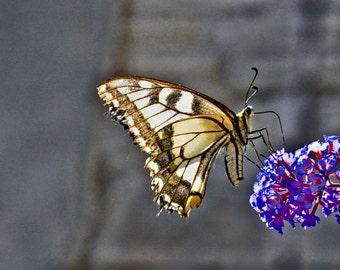 Papillon Macheon (Swallow tail butterfly)