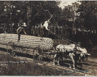 1908 BIG Produce corn on cob Photo by W.H. Marin Iowa Products Postcard Bakkum