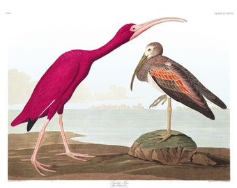 Scarlet Ibis Print Birds Poster Wildlife Art Vintage Birds Illustration Ornithology Fine Art Print  J.J Audubon  Ornithologist Gift 0420