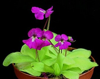 Pinguicula Elizabethiae * Mexican Butterwort Carnivorous * Rare * 10 Seeds *