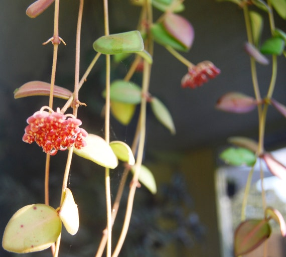 Hoya tsangii bilobata easy care flowering tropical for Best easy care outdoor plants