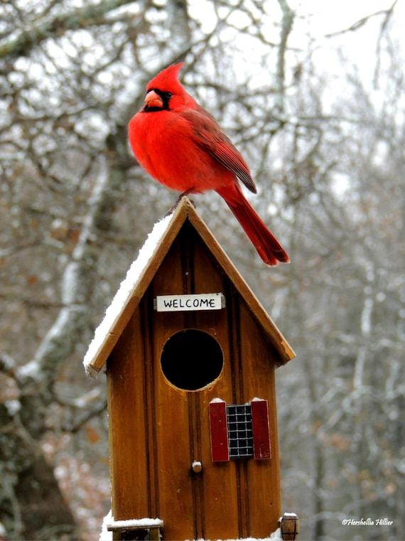 Items Similar To Red Cardinal Home Decor Bird Photography