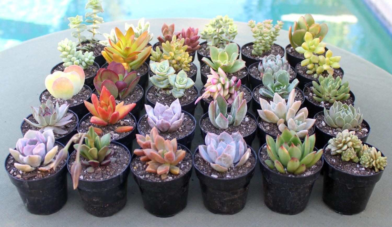 12 colorful succulents in 2 1 2 inch pots succulent plants Colorful pots for indoor plants