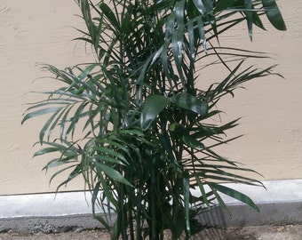 Bamboo Palm Plant in 10 inch pot - About 54 inches tall