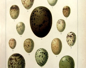 1920 Antique eggs of birds print, original vintage color lithograph of bird egg, different kinds eggs engraving, Easter WALL ART plate