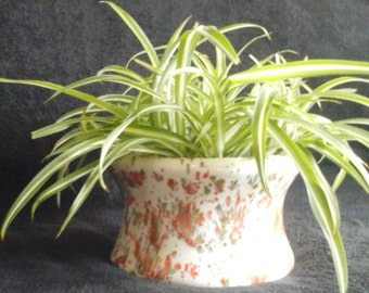 BEAUTIFUL SPIDER PLANTS