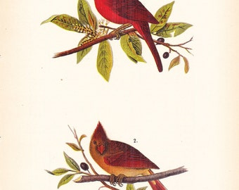 1890 Audubon Bird Print - Cardinal - Vintage Antique Book Plate for Natural Science or History Lover Great for Framing 100 Years Old