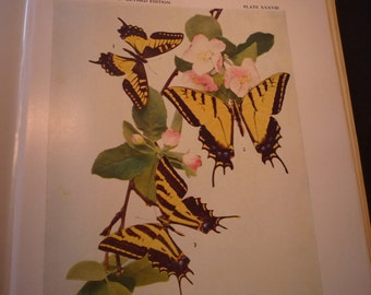 Butterflies - Parnassius  Lively print  - 1945 color plate - vibrant color prints - Natural world framable W J Holland