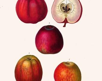 antique french botanical print apples illustration digital download