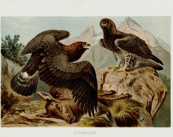 1890 Antique EAGLE print, Golden Eagle, 122 years old nice print