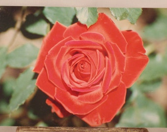 Rose Blooming! Downtown Ft. Worth Texas! Botanical Garden! Rose Garden! Kodak Paper! Rare Find! Collectible! Scrapbooking! Ships Free Sale!