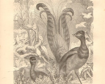 1879 Superb Lyrebird - Menura novaehollandiae Original Antique Engraving