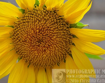 Sunflower Pictures, Sunflower Photography, Sunflower Art, Pictures of Sunflowers, Sunflower Picture, Sunflower Photos, Sunflower Images