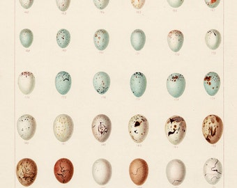Nature Study Print shows 42 Hedgerow Bird Eggs, Pastel Colors Art Print Wall Decor. Budget Gift for Friend. Nature Art Gift for Him