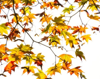 Autumn Maple Leaves, Red, Orange, Yellow Fall Leaves, High Key Image, Translucent