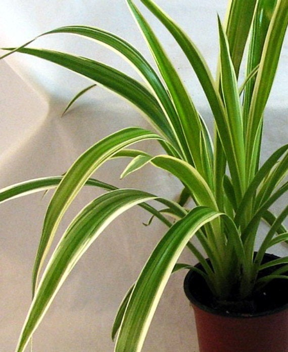 Growing A Spider Plant: Ocean Spider Plant Easy To Grow Cleans The Air By HirtsGardens