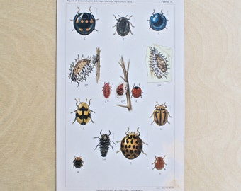 1893 - Ladybugs & Other Insects- Antique Print - Vintage Bookplate from The 1893 Commissioner of Agriculture - Kitchen and Home Decor