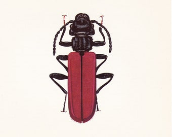 vintage beetle art print Bark Beetle red Cucujus coccinatus home decor 8x10 inches