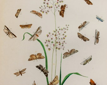 Large Antique Moth Print, 1860 Hand Coloured Engraving by Humphreys - Brown Moths on Grass (Plate 110)