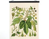 Hop Humulus lupulus Pull Down Chart - Botanical Reproduction Print. Vintage Science Plate Educational Diagram wall art poster - CP260CV