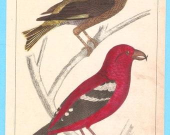 Antique birds (XXXIV - crossbill)  illustration