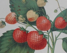 """1852: The Boston Pine Strawberry. Antique Lithograph Print by Charles Hovey, American Pomologist  and Founder of """"The American Gardener"""""""