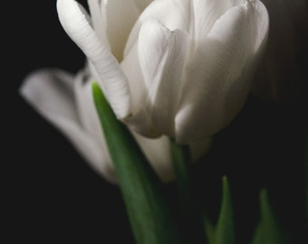 White Tulip II, Photograph