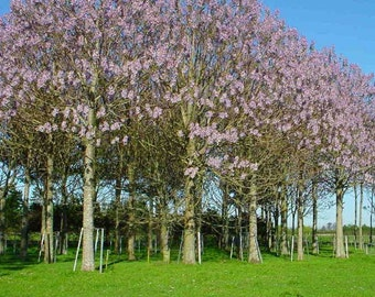 Paulownia Elongata - 250 Seeds - Empress Tree - FAST growing!