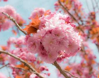 PHOTOGRAPHY, DIGITAL DOWNLOAD photography, Spring photo, digital photography, Flowers Cherry Blossom, Blossom, fine are gift, home decor