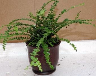 "Lemon Button Fern 4"" ceramic-Pot color red - Nephrolepis cordifolia Duffii (FREE SHIPPING)"
