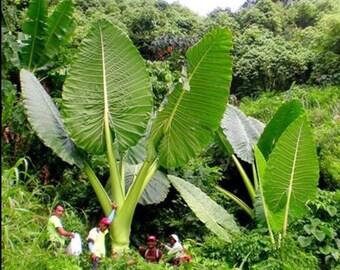 """GIANT ELEPHANT EAR: Colocasia gigantea 'Thailand Giant' (Taro) 12"""" - 24"""" Tall  (While supplies last)"""