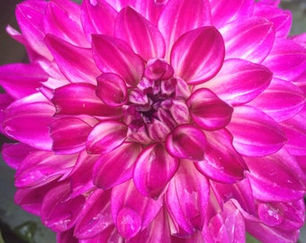 Hot Pink Dahlia Canvas Print