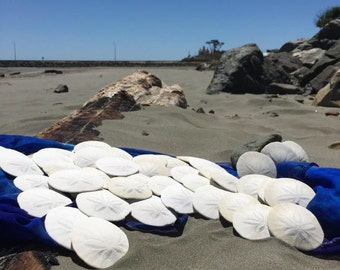 Fifty Medium 3-3.5 inch Natural White Sand Dollars
