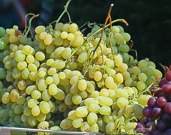 Niagara Grape Vines
