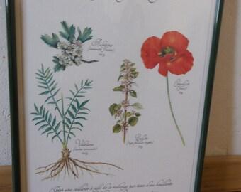 """Botanical plank under glass framed"" herbal sedative "", pastel to C Michaut, calligraphy of P Benoistel; 1982, France"