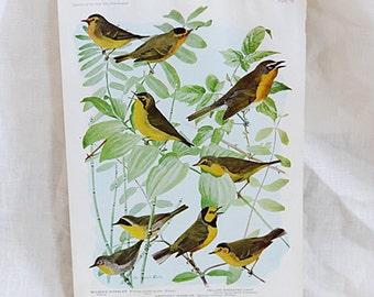 Bird Print Nº 97 | Birds of America
