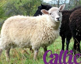 Raw Shetland Fleece-mioget